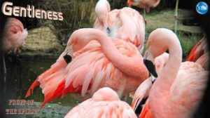 Picture of flamingos at San Francisco Zoo for the gentleness bible study
